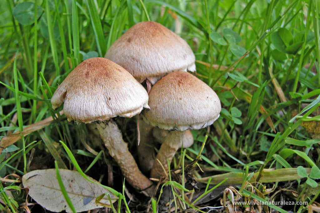 seta lacrimaria aterciopelada (Lacrymaria lacrymabunda = Psathyrella lacrymabunda = Psathyrella velutina)