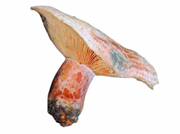 Niscalo (Lactarius deliciosus)