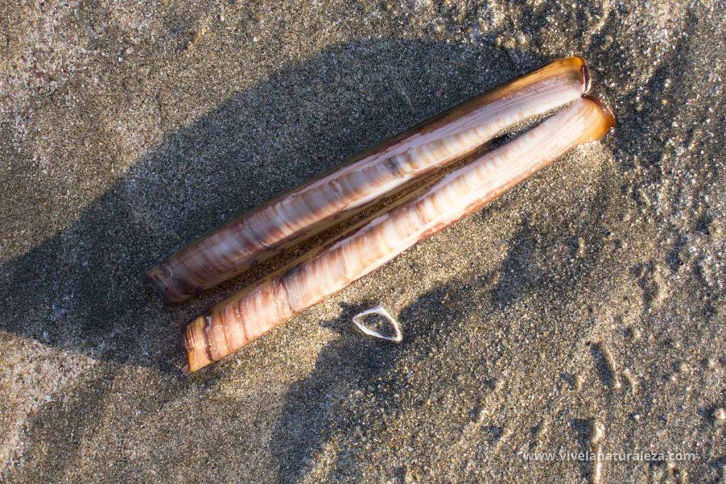 longueirón o navaja rugosa (Solen marginatus)