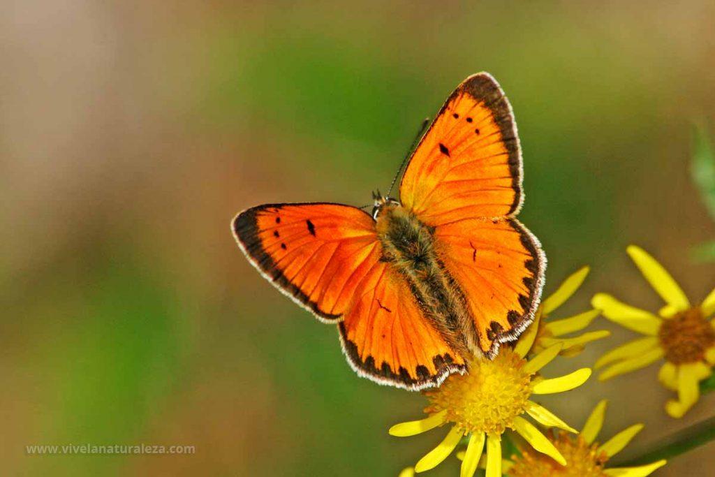 mariposa macho con las alas abiertas