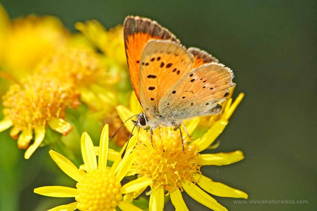 Macho de la mariposa manto de oro (Lycaena virgaureae = Heodes virgaureae)