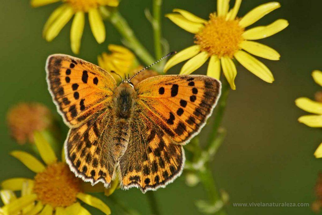 Manto de oro hembra con las alas abiertas