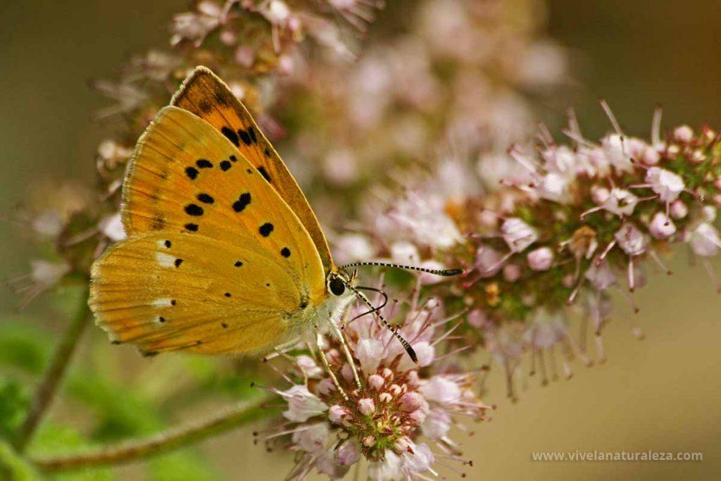 hembra de la mariposa manto de oro (Lycaena virgaureae = Heodes virgaureae)