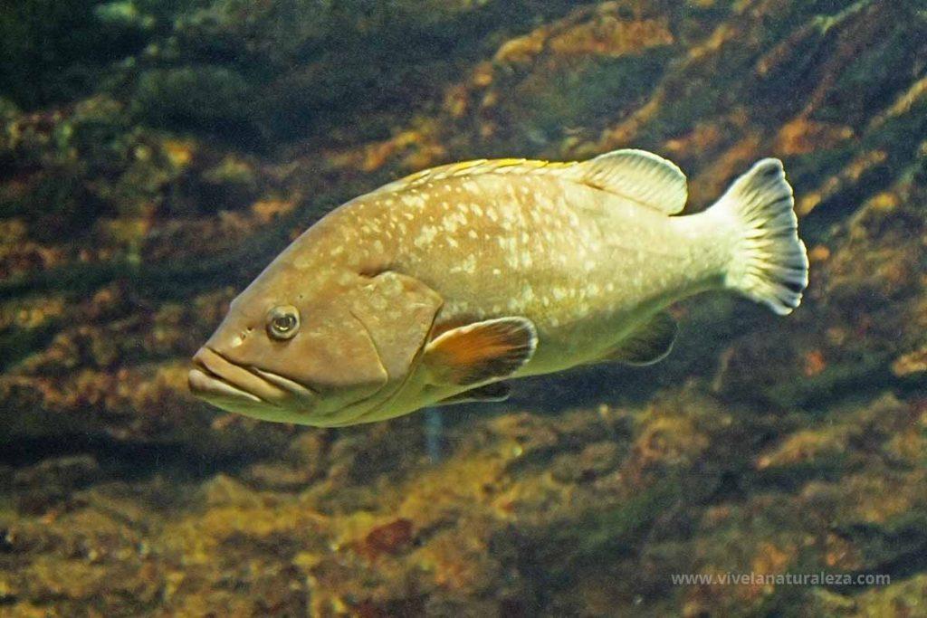 el pez mero (Epinephelus marginatus,  Epinephelus guaza)