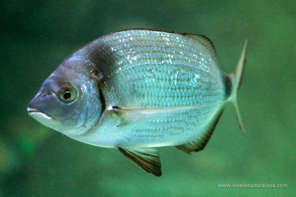 Mojarra pescado (Diplodus vulgaris)