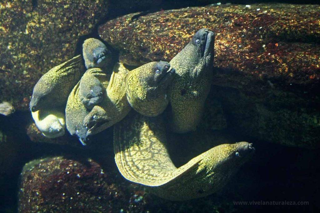 Grupo de morenas peces (Muraena helena)