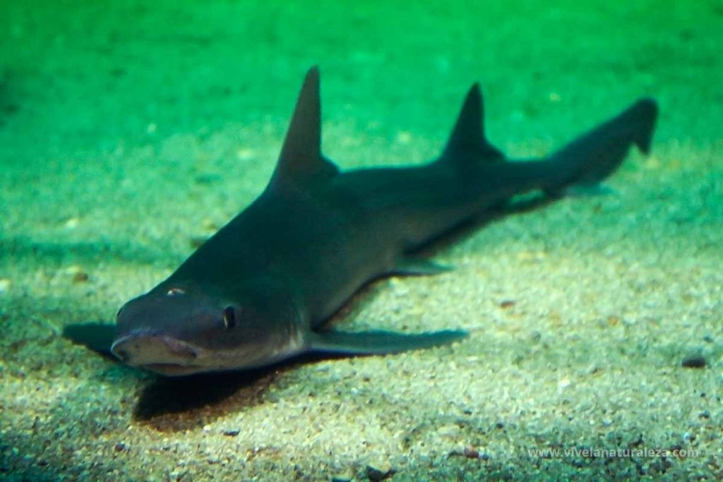 tiburón musola lisa (Mustelus mustelus)