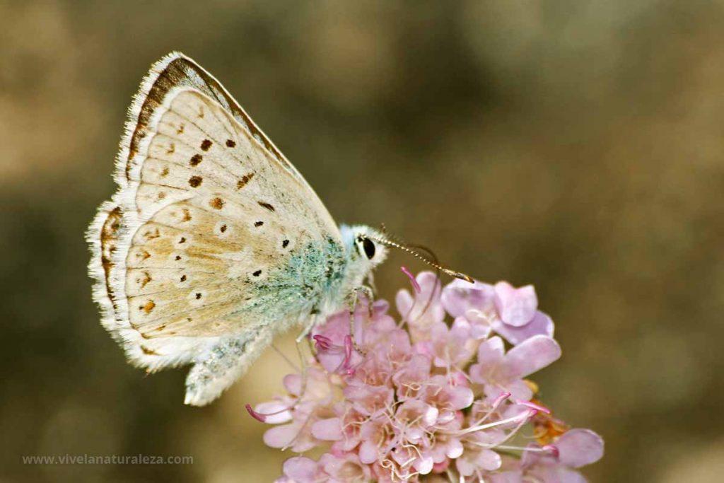 niña coridon macho con las alas cerradas (Polyommatus coridon = Lysandra coridon)