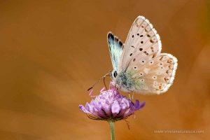 mariposa niña coridon (Polyommatus coridon = Lysandra coridon)
