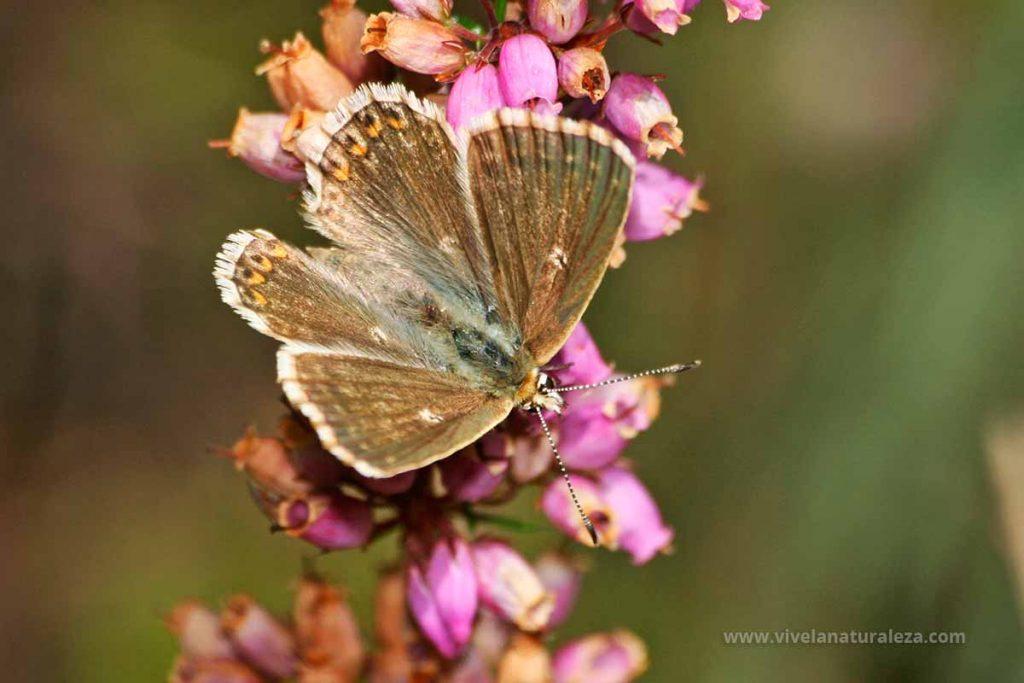 mariposa niña coridon hembra con las alas abiertas (Polyommatus coridon = Lysandra coridon)