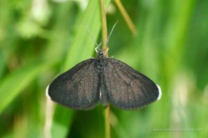 mariposa Odezia atrata
