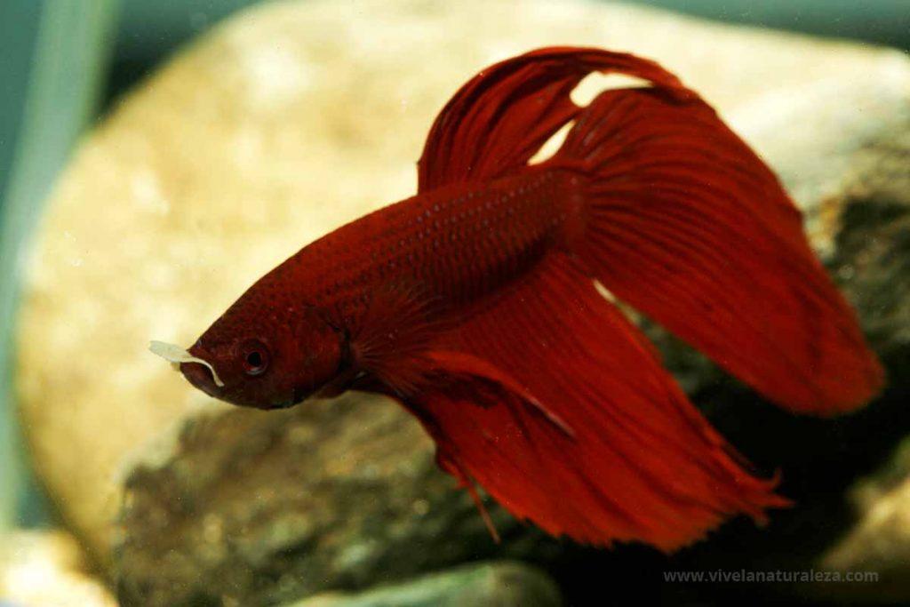 Pez betta de color rojo, tambien llamado combatiente, peleador, pez luchador, luchador de siam (Betta splendens)