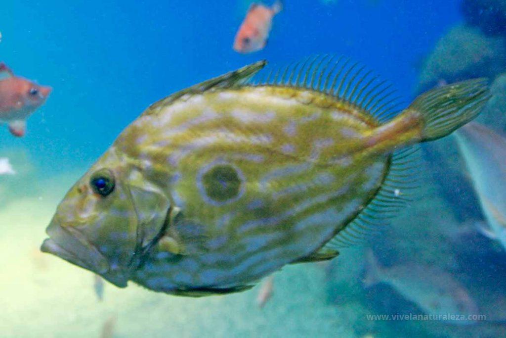 pez de san Pedro (Zeus faber)