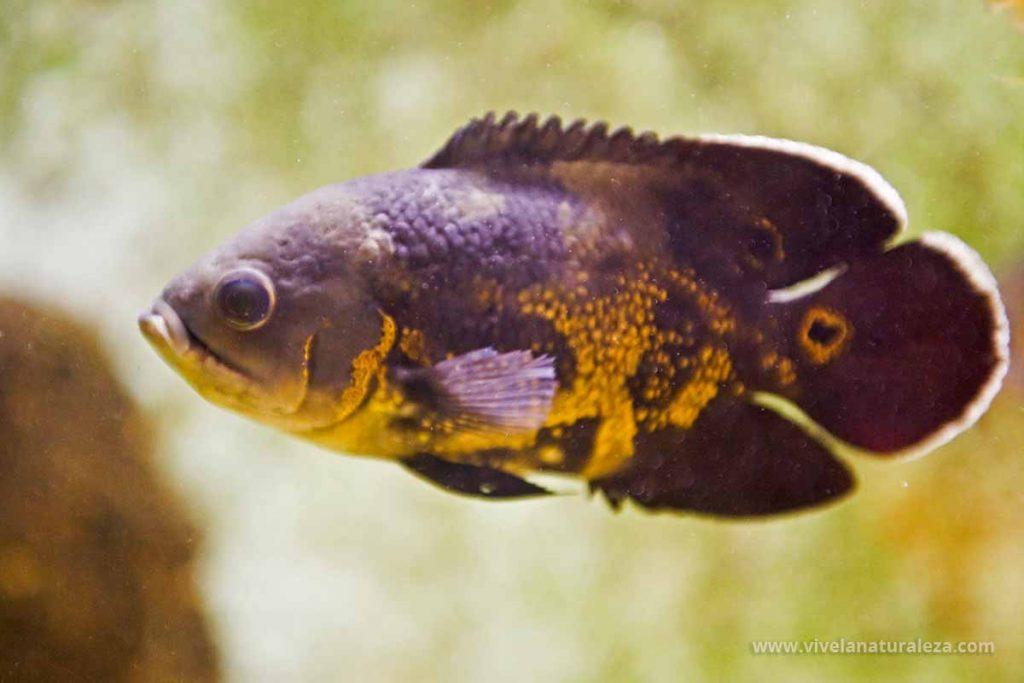 pez oscar o ciclido oscar (Astronotus ocellatus)