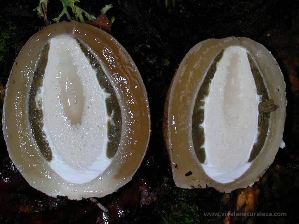 Huevo embrionario seccionado por la mitad
