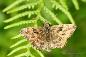 mariposa piquitos castaña (Carcharodus alceae)