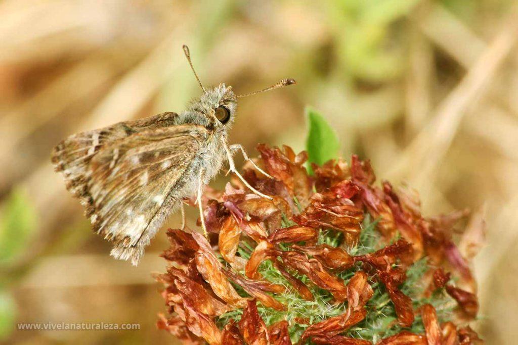 de la mariposa piquitos castaña con las alas cerradas (Carcharodus alceae)