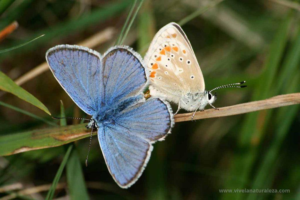 mariposa niña turquesa (Polyommatus dorylas = Plebicula dorylas = Lysandra dorylas)