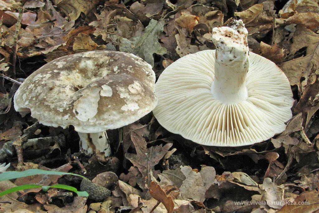 Russula albonigra - Rúsula blanca y negra