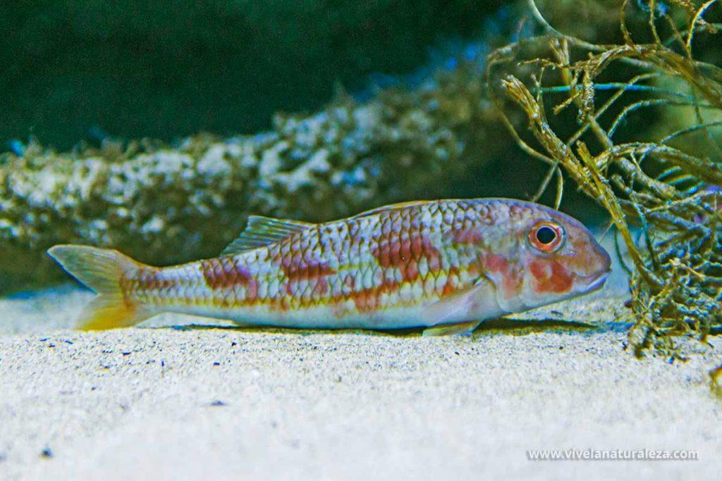Salmonete de roca pez (Mullus surmuletus)