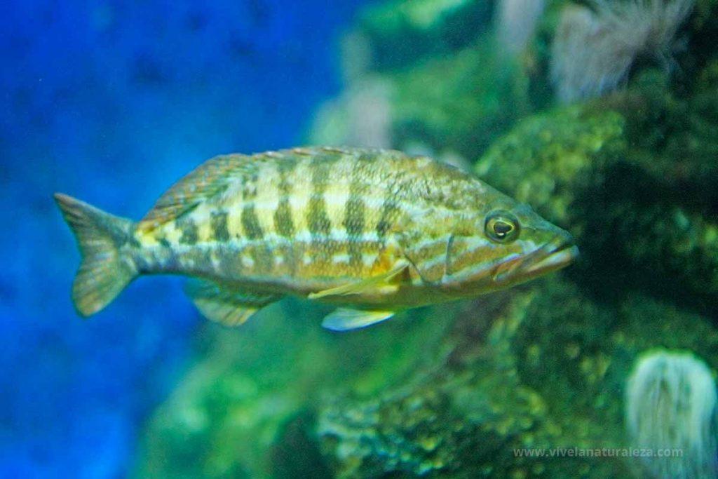 Cabrilla pez (Serranus cabrilla)