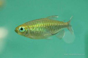 Tetra del Congo - Phenacogrammus interruptus