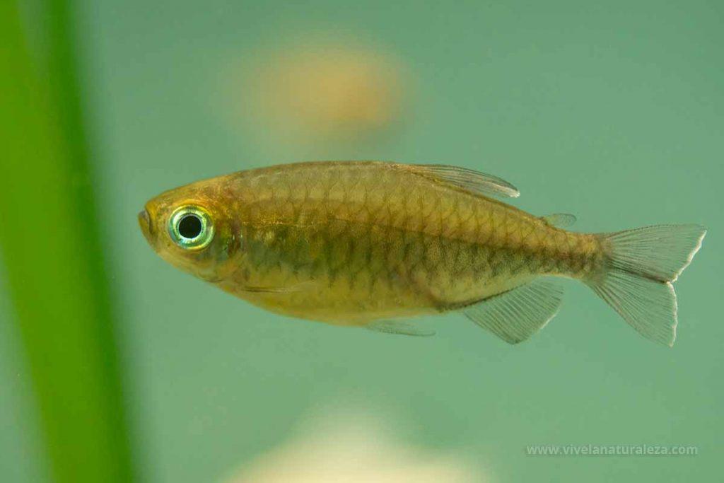 Tetra Congo hembra (Phenacogrammus interruptus, Micralestes interruptus)