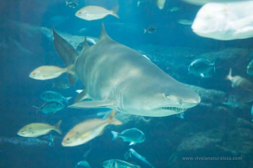 Vista del tiburon toro (Carcharias taurus, odontaspis Taurus, Eugomphodus Taurus)