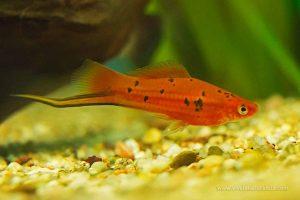 Xifo - Xiphophorus hellerii
